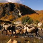 Cap au Sud, Zébus de Madagascar