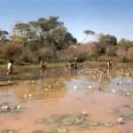 Nénuphars de Madagascar